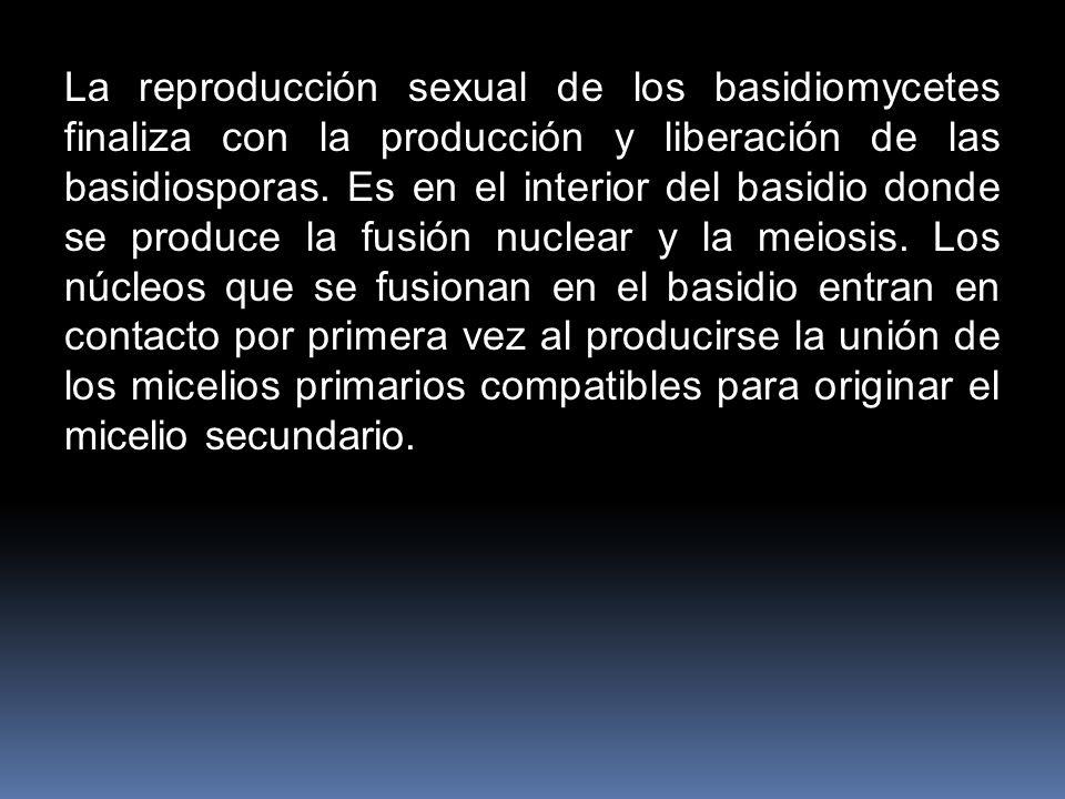 La reproducción sexual de los basidiomycetes finaliza con la producción y liberación de las basidiosporas.