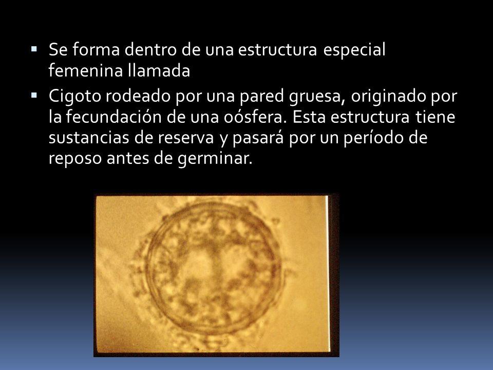 Se forma dentro de una estructura especial femenina llamada
