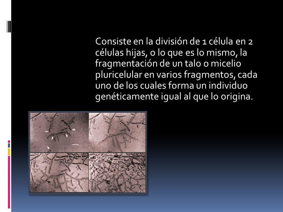 Consiste en la división de 1 célula en 2 células hijas, o lo que es lo mismo, la fragmentación de un talo o micelio pluricelular en varios fragmentos, cada uno de los cuales forma un individuo genéticamente igual al que lo origina.