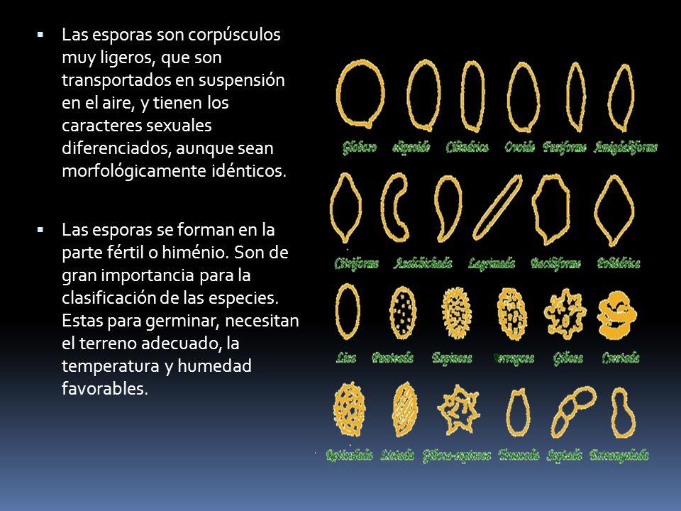 Las esporas son corpúsculos muy ligeros, que son transportados en suspensión en el aire, y tienen los caracteres sexuales diferenciados, aunque sean morfológicamente idénticos.