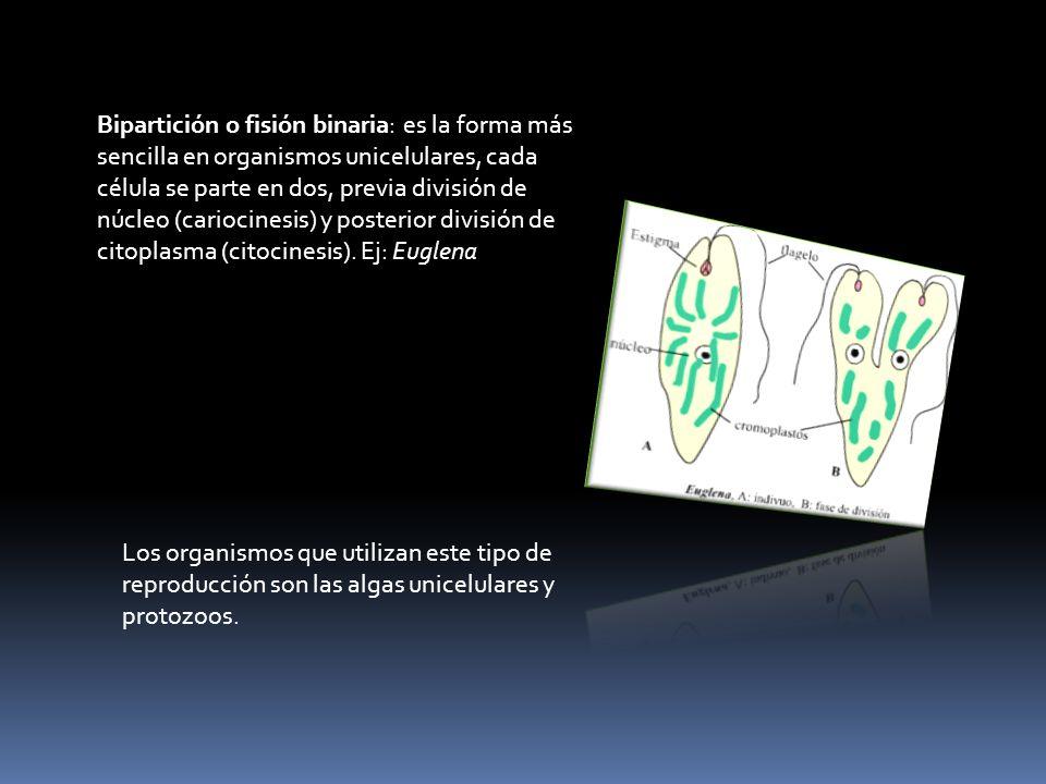 Bipartición o fisión binaria: es la forma más sencilla en organismos unicelulares, cada célula se parte en dos, previa división de núcleo (cariocinesis) y posterior división de citoplasma (citocinesis). Ej: Euglena