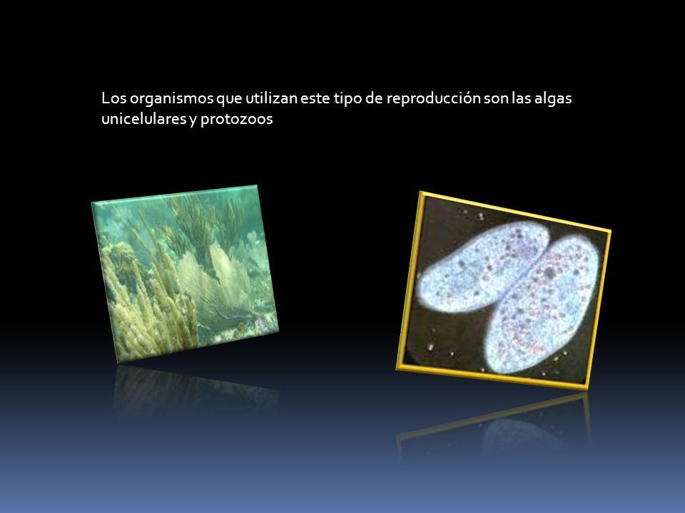 Los organismos que utilizan este tipo de reproducción son las algas unicelulares y protozoos