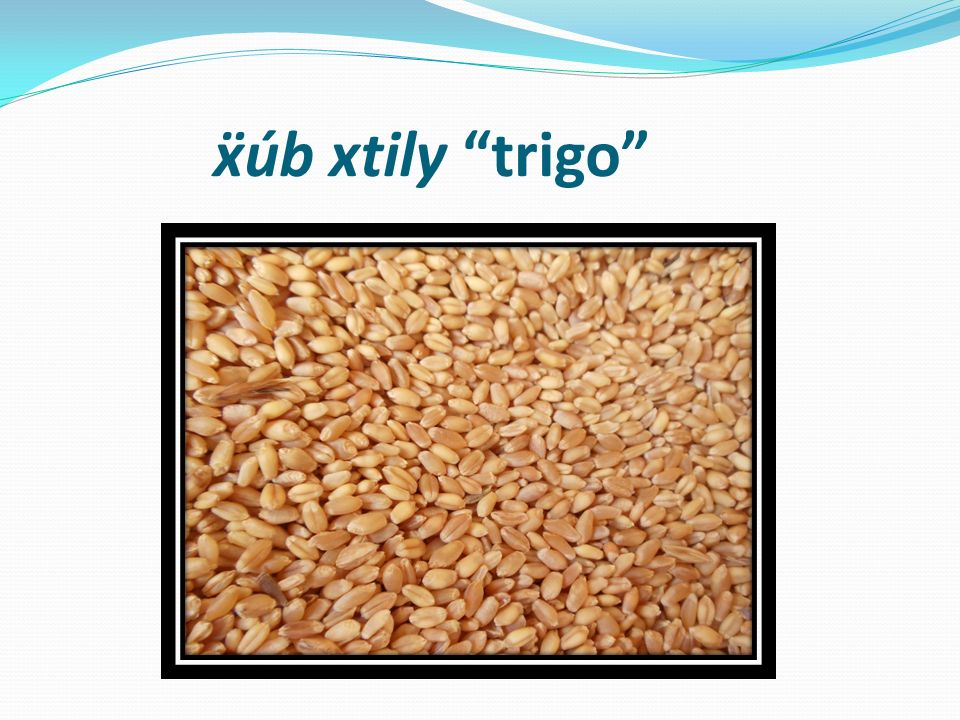 ẍúb xtily trigo