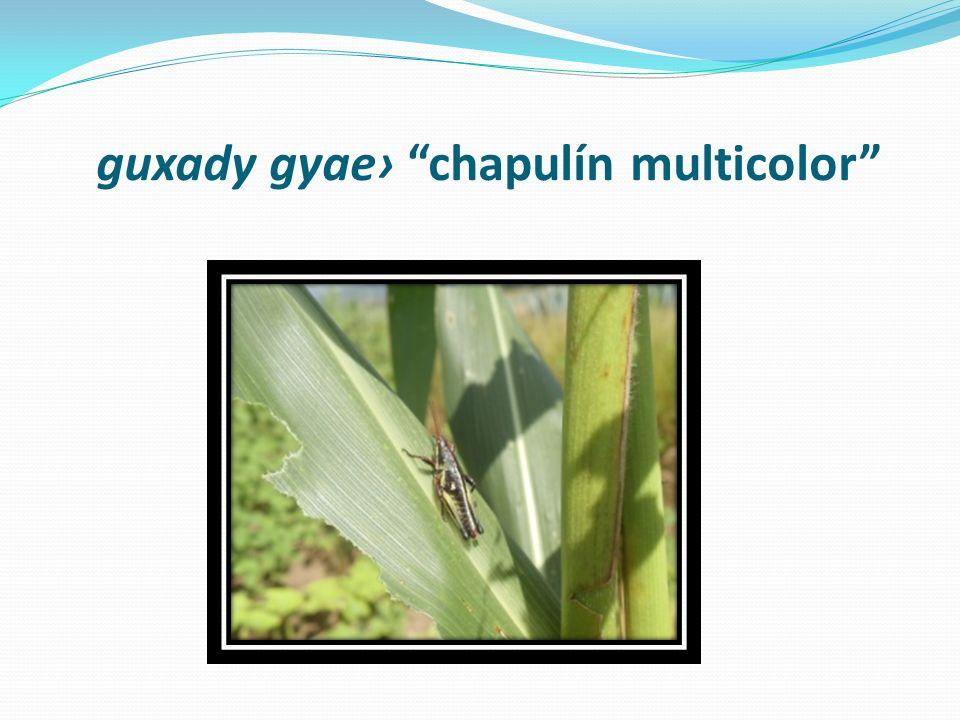 guxady gyae› chapulín multicolor