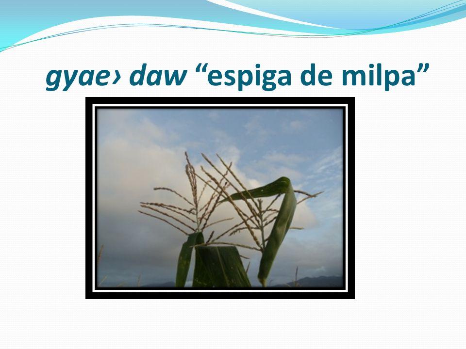 gyae› daw espiga de milpa