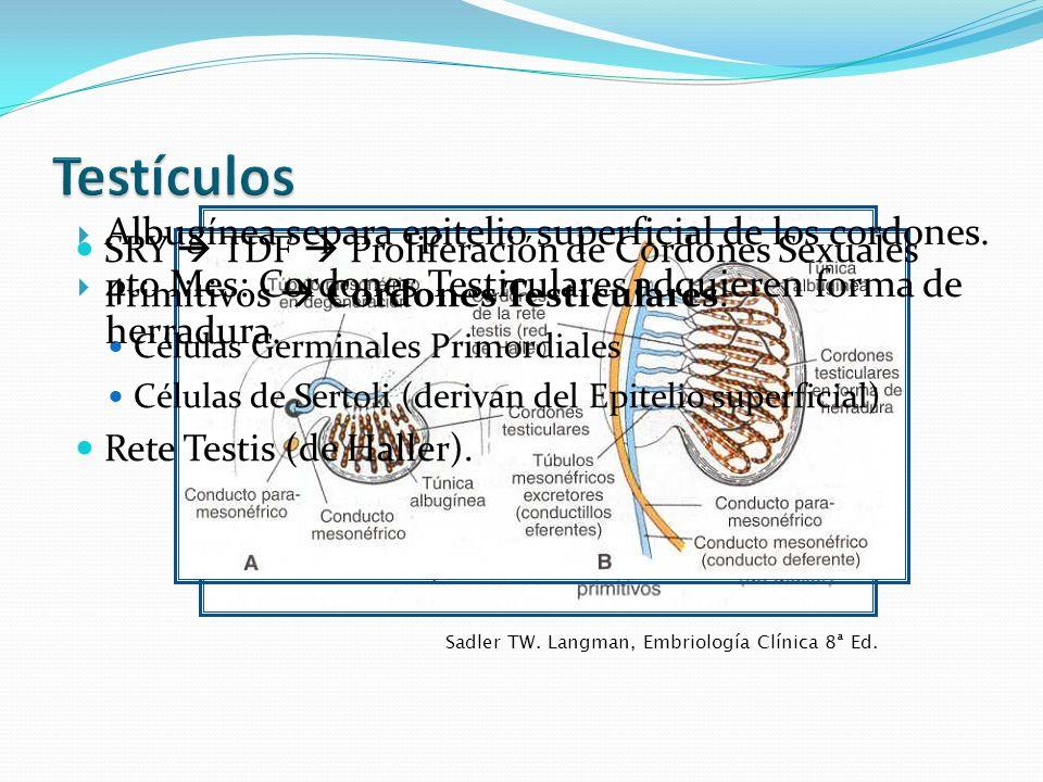 Testículos Albugínea separa epitelio superficial de los cordones.