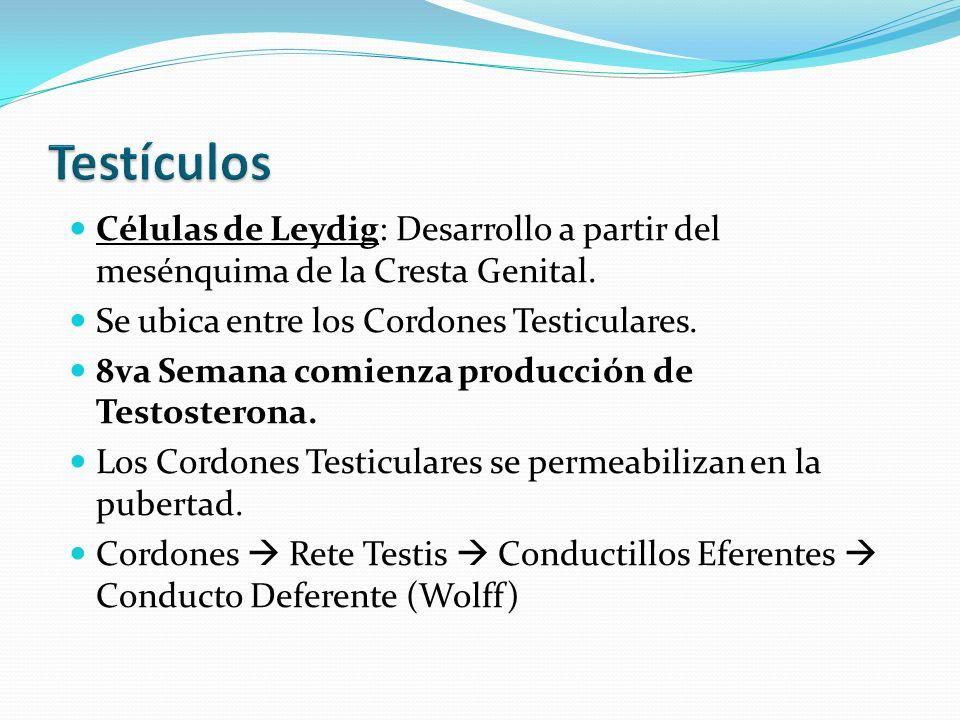 Testículos Células de Leydig: Desarrollo a partir del mesénquima de la Cresta Genital. Se ubica entre los Cordones Testiculares.