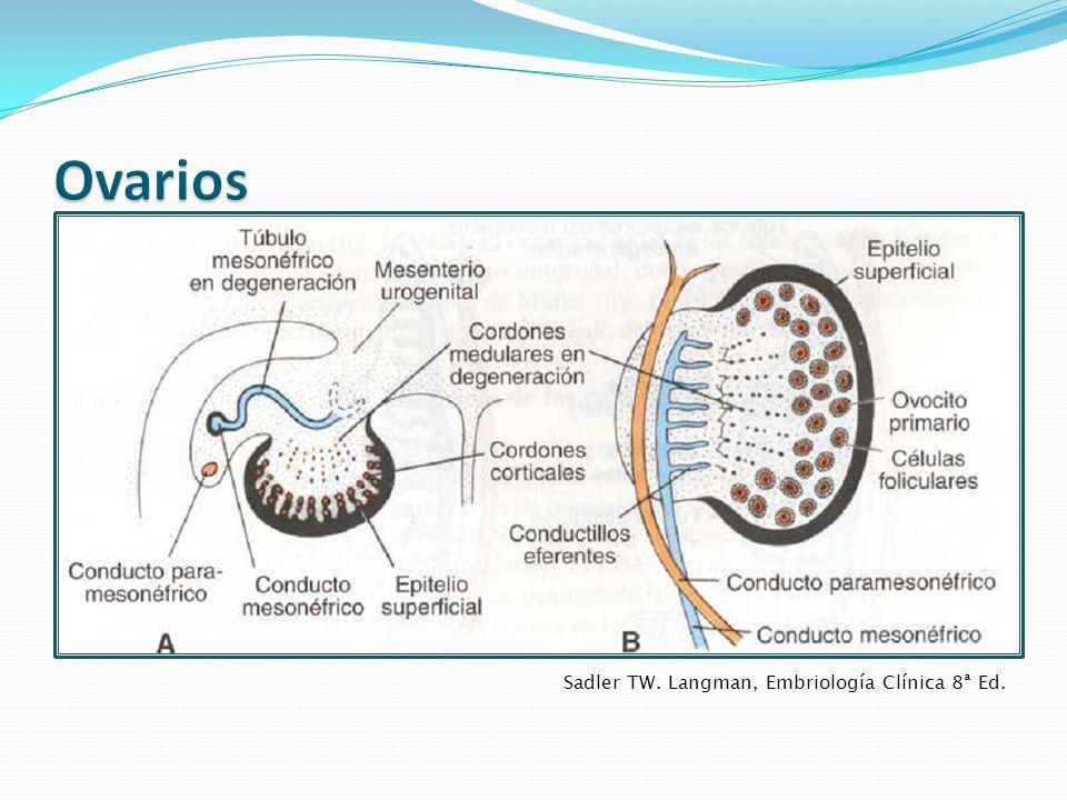 Ovarios Sadler TW. Langman, Embriología Clínica 8ª Ed.