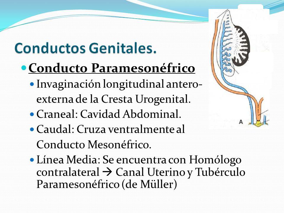 Conductos Genitales. Conducto Paramesonéfrico