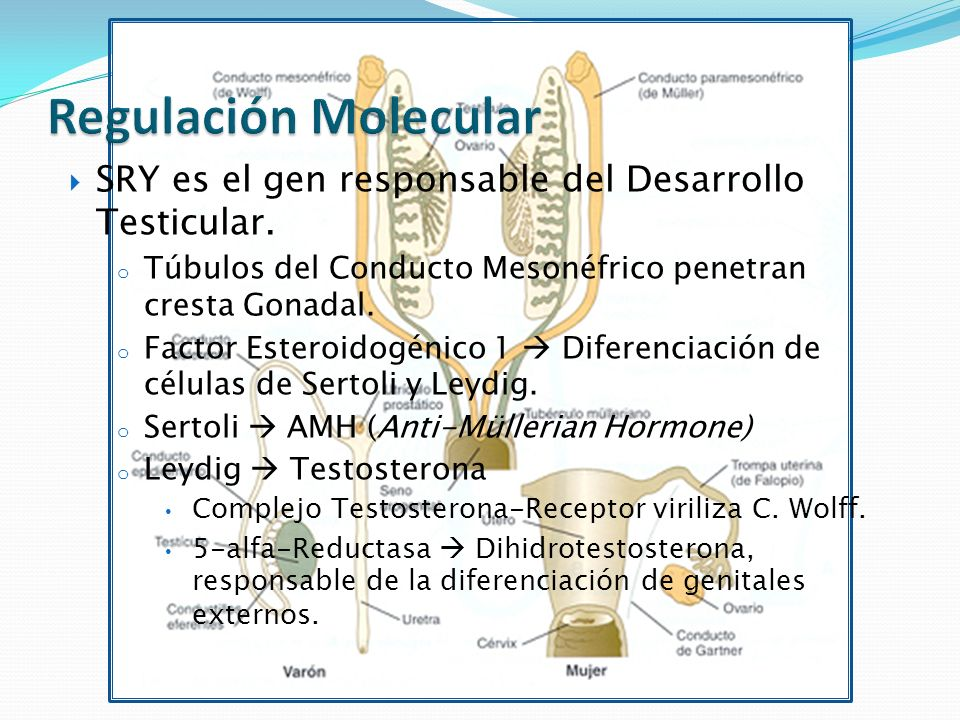 Regulación Molecular SRY es el gen responsable del Desarrollo Testicular. Túbulos del Conducto Mesonéfrico penetran cresta Gonadal.