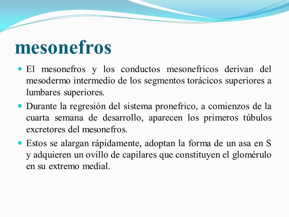 mesonefros El mesonefros y los conductos mesonefricos derivan del mesodermo intermedio de los segmentos torácicos superiores a lumbares superiores.