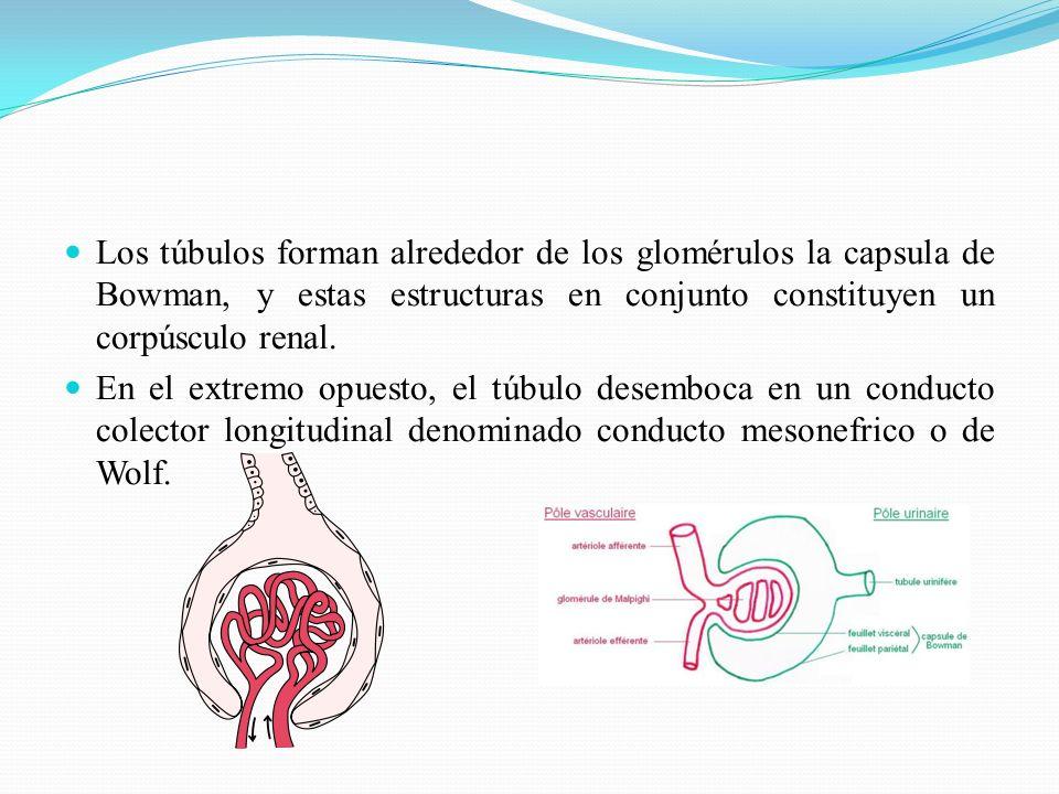 Los túbulos forman alrededor de los glomérulos la capsula de Bowman, y estas estructuras en conjunto constituyen un corpúsculo renal.