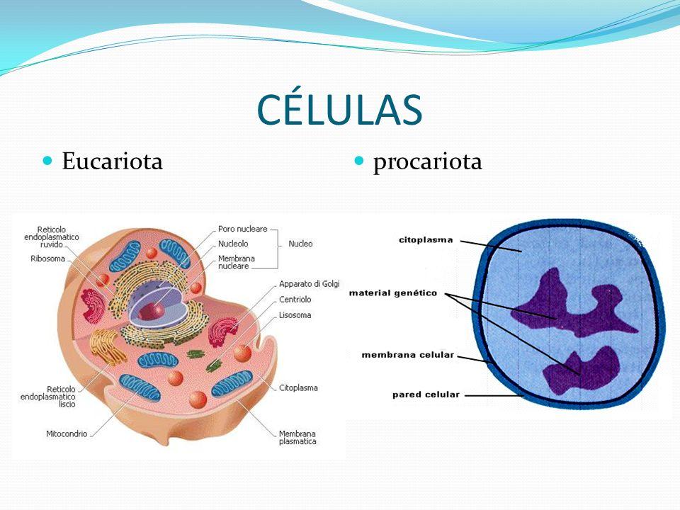 CÉLULAS Eucariota procariota