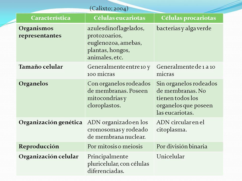 (Calixto; 2004) Característica. Células eucariotas. Células procariotas. Organismos representantes.