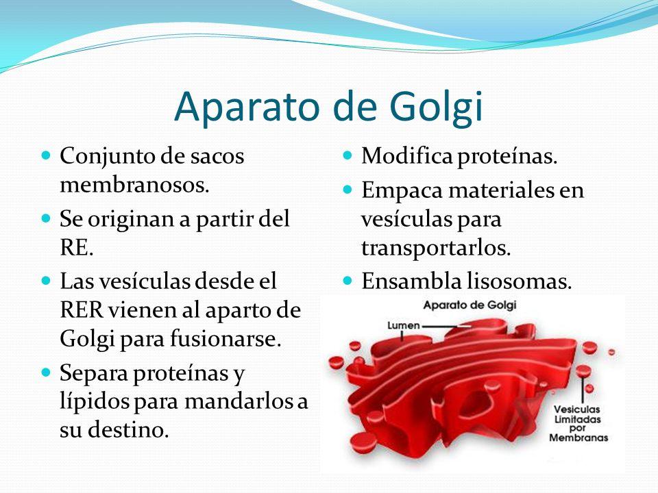 Aparato de Golgi Conjunto de sacos membranosos.