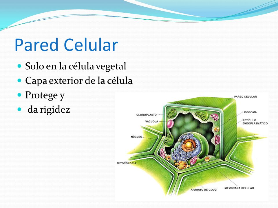 Pared Celular Solo en la célula vegetal Capa exterior de la célula