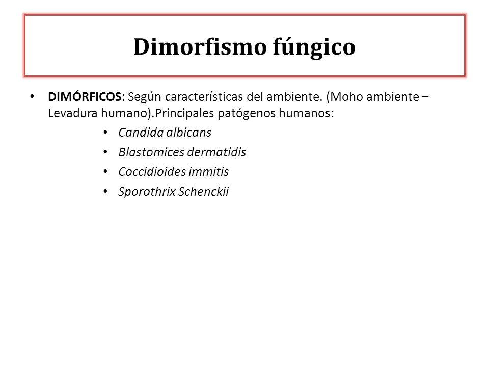 Dimorfismo fúngico DIMÓRFICOS: Según características del ambiente. (Moho ambiente – Levadura humano).Principales patógenos humanos:
