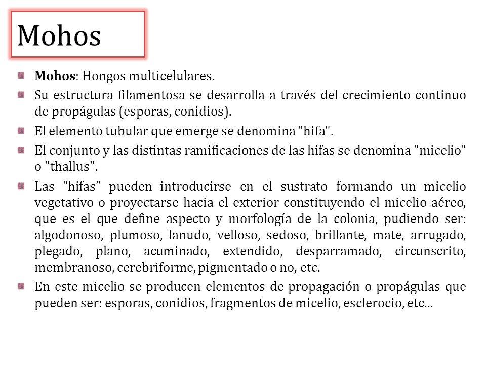 Mohos Mohos: Hongos multicelulares.