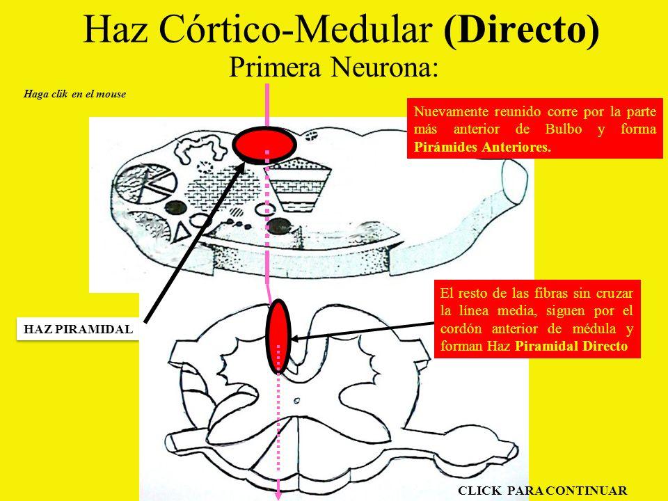 Haz Córtico-Medular (Directo)