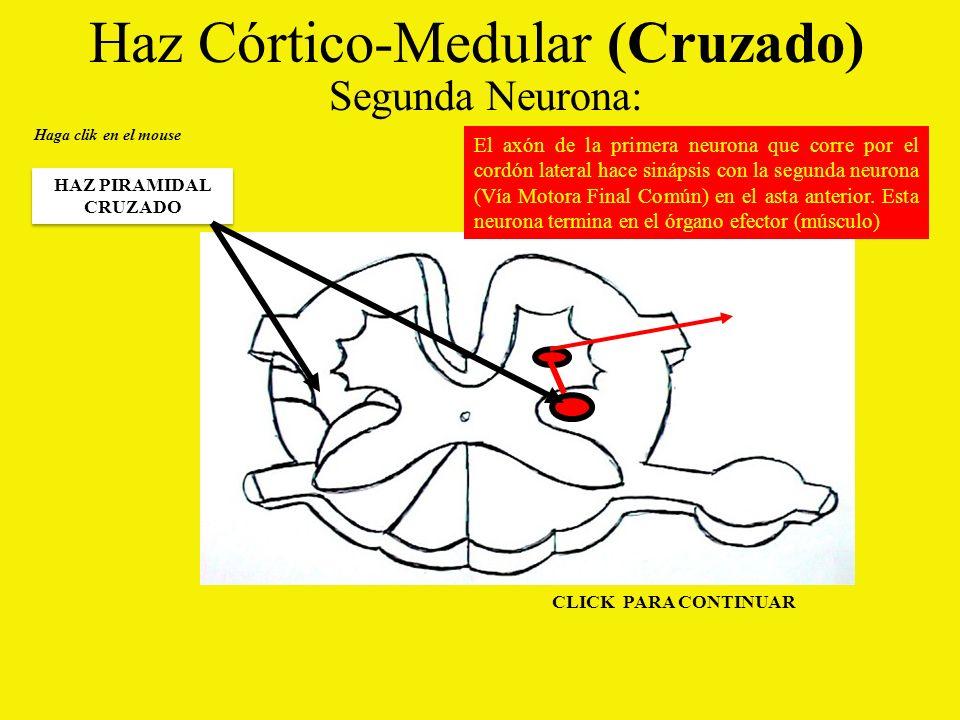 Haz Córtico-Medular (Cruzado)