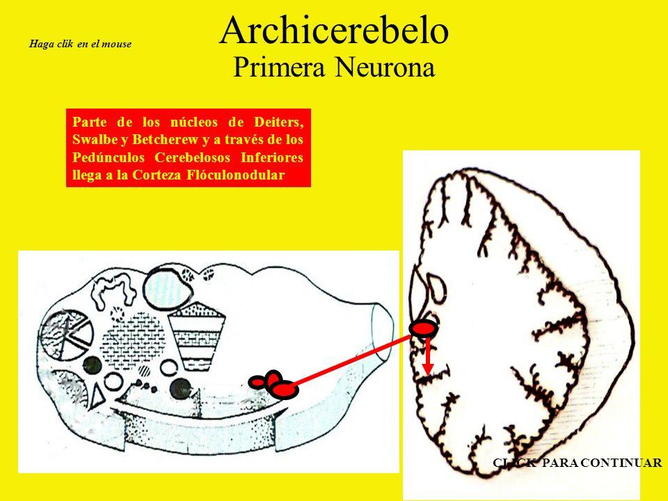 Archicerebelo Primera Neurona