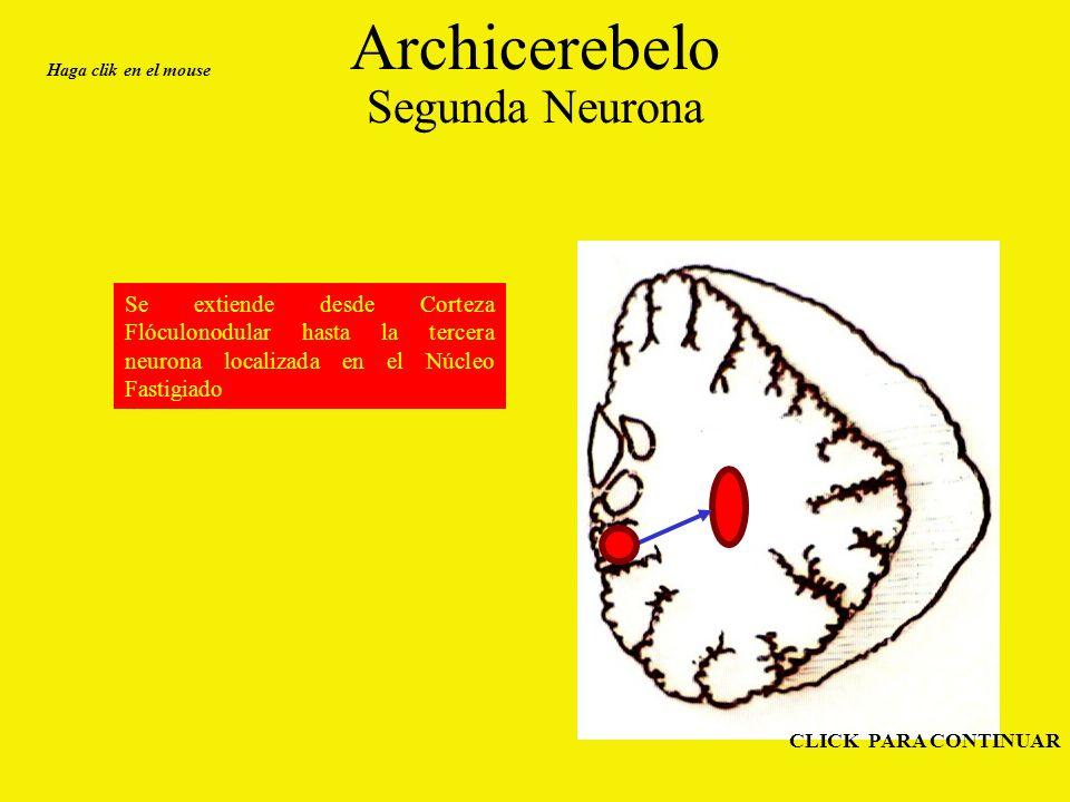 Archicerebelo Segunda Neurona
