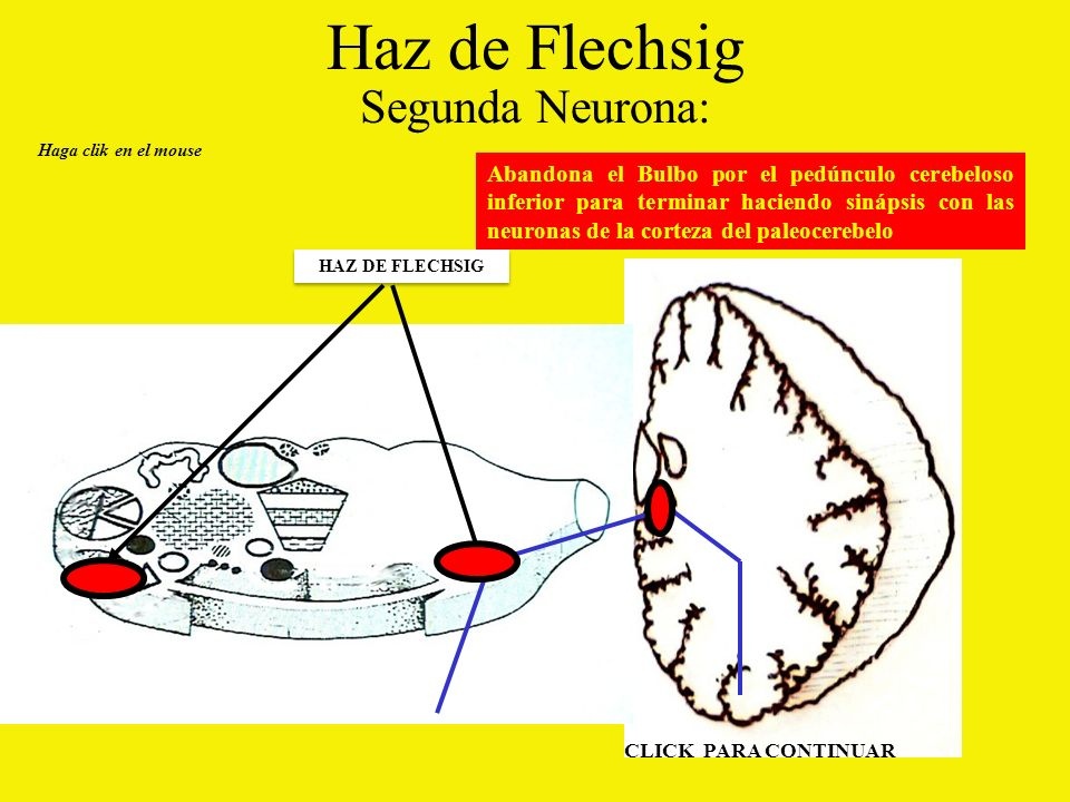Haz de Flechsig Segunda Neurona: