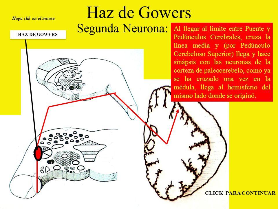 Haz de Gowers Segunda Neurona: