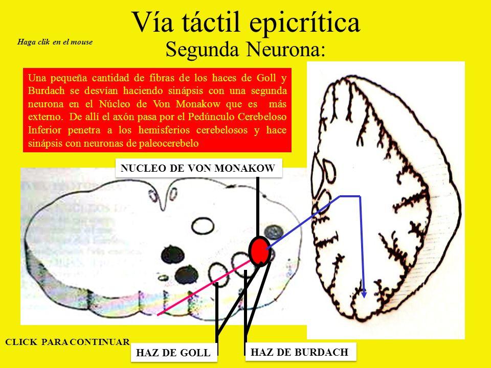 Vía táctil epicrítica Segunda Neurona: