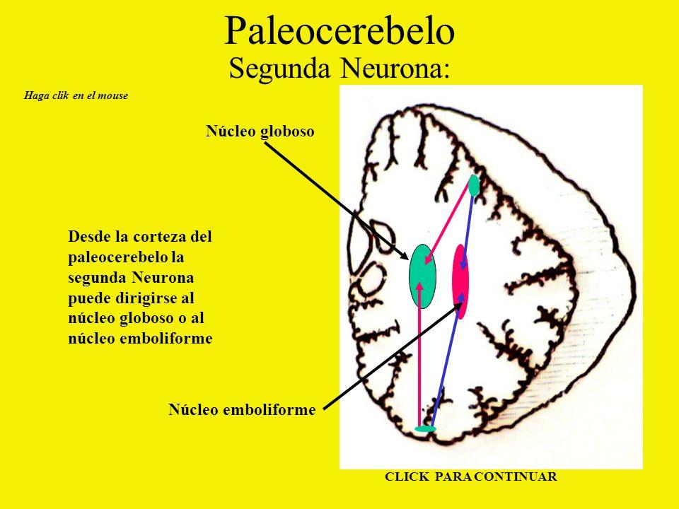 Paleocerebelo Segunda Neurona: Núcleo globoso