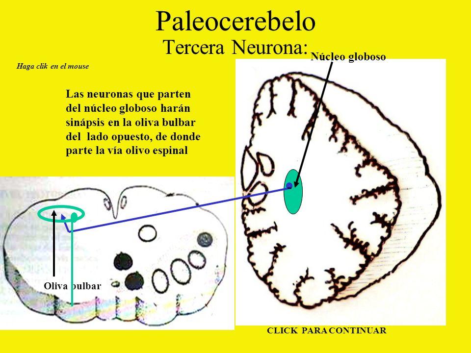 Paleocerebelo Tercera Neurona: - Núcleo globoso