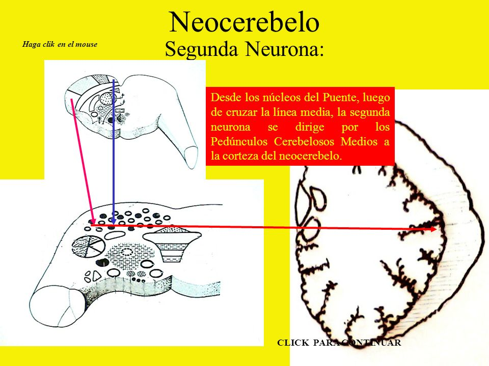 Neocerebelo Segunda Neurona: