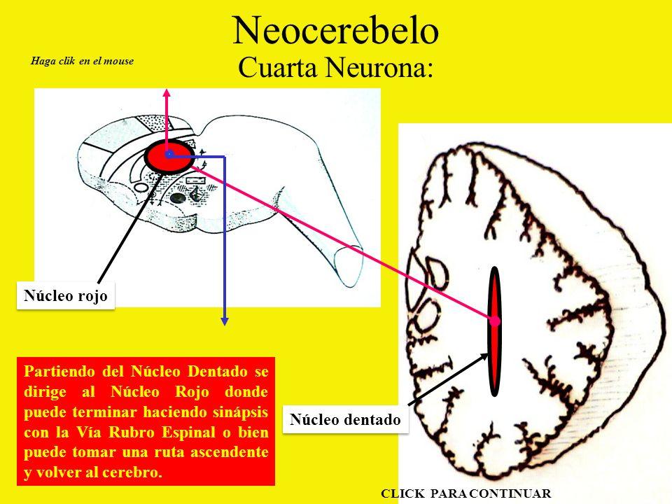 Neocerebelo Cuarta Neurona: Núcleo rojo