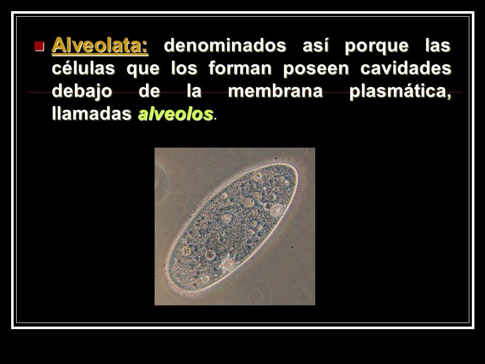 Alveolata: denominados así porque las células que los forman poseen cavidades debajo de la membrana plasmática, llamadas alveolos.