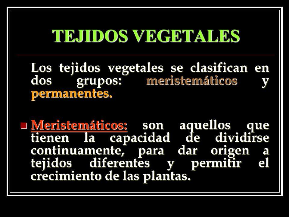 TEJIDOS VEGETALES Los tejidos vegetales se clasifican en dos grupos: meristemáticos y permanentes.
