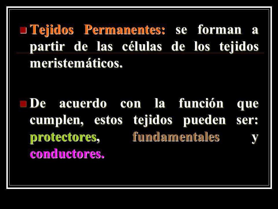 Tejidos Permanentes: se forman a partir de las células de los tejidos meristemáticos.