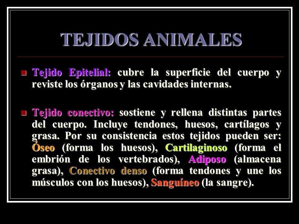 TEJIDOS ANIMALES Tejido Epitelial: cubre la superficie del cuerpo y reviste los órganos y las cavidades internas.