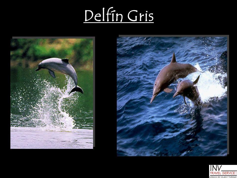 Delfín Gris