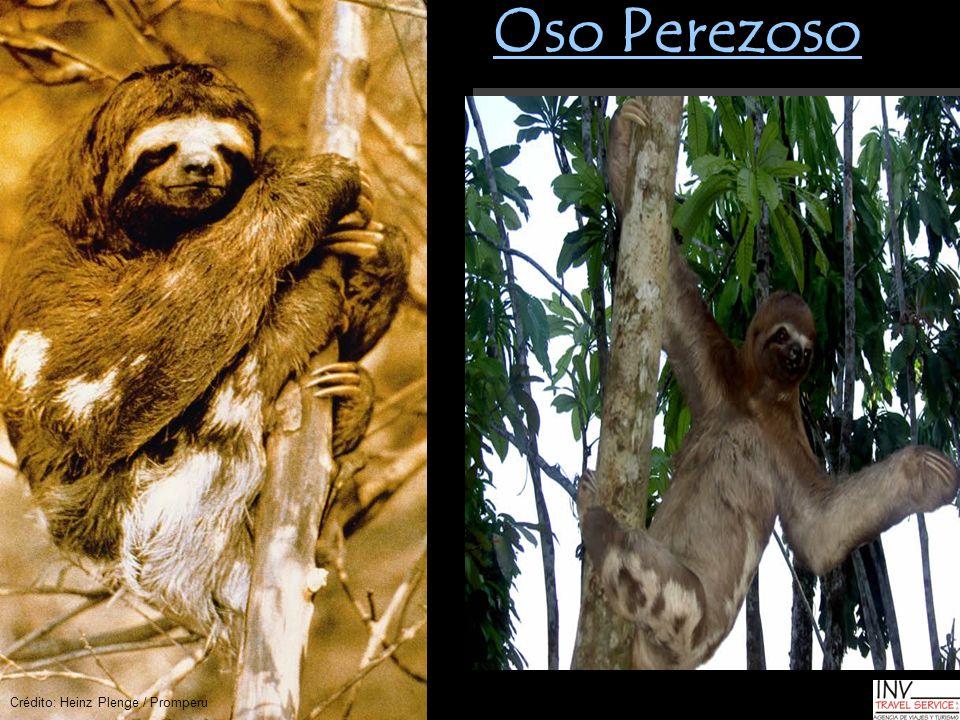Oso Perezoso Crédito: Heinz Plenge / Promperu