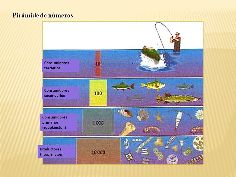 Pirámide de números Consumidores terciarios Consumidores secundarios