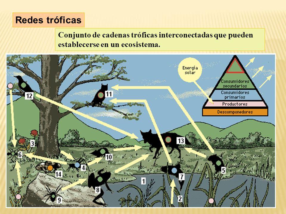 Redes tróficas Conjunto de cadenas tróficas interconectadas que pueden establecerse en un ecosistema.