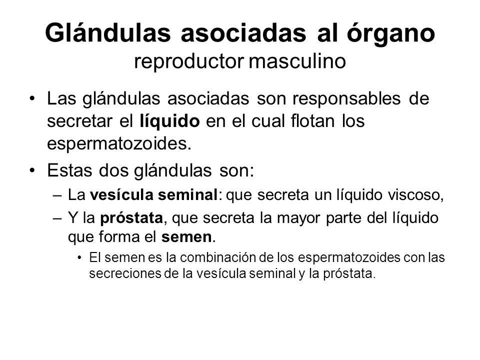 Glándulas asociadas al órgano reproductor masculino