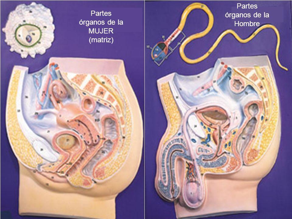 Partes órganos de la Hombre Partes órganos de la MUJER