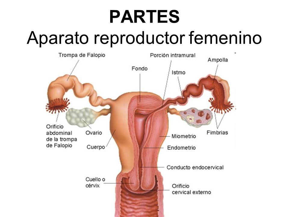 El sistema reproductor humano - ppt video online descargar