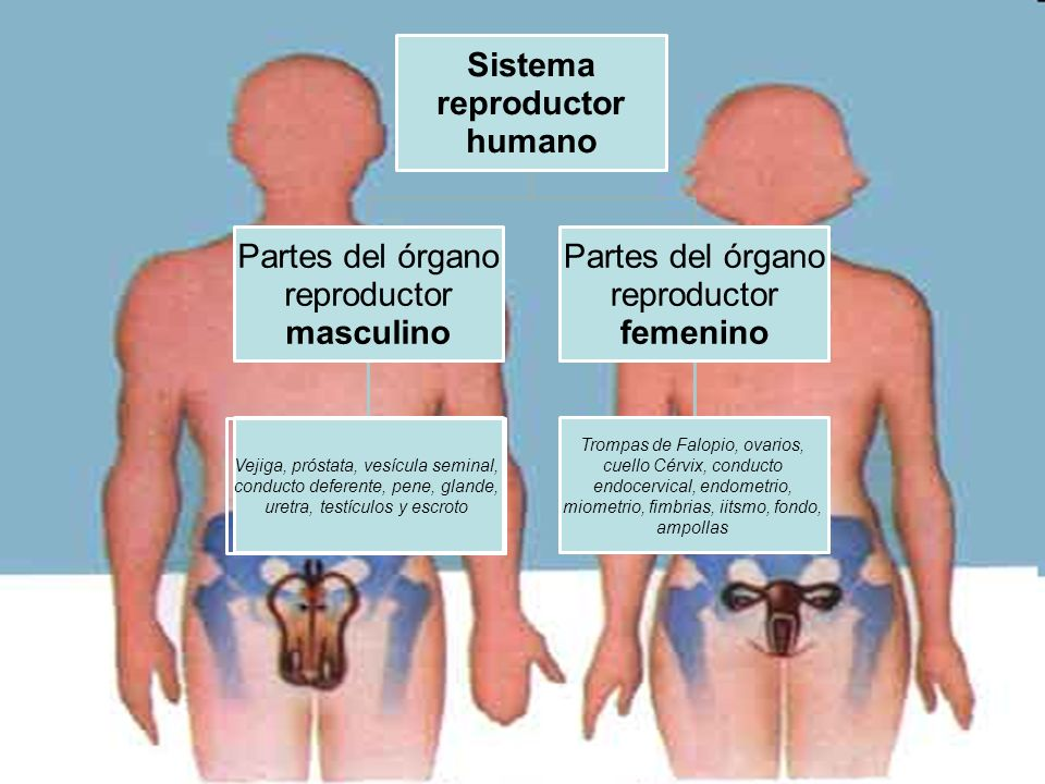 El sistema reproductor humano - ppt video online descargar