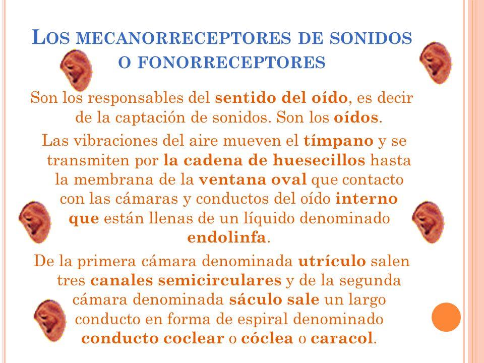 Los mecanorreceptores de sonidos o fonorreceptores