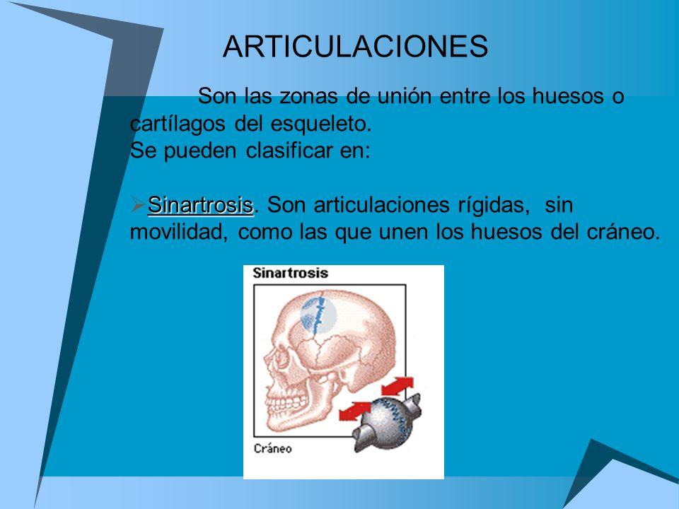 ARTICULACIONESSon las zonas de unión entre los huesos o cartílagos del esqueleto. Se pueden clasificar en: