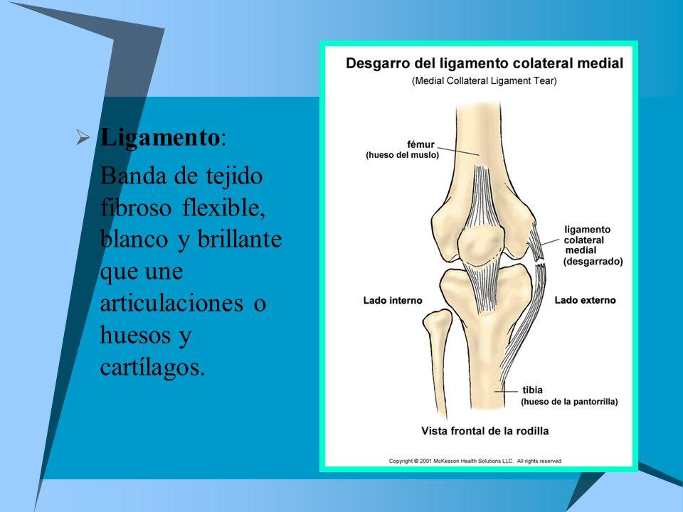 Ligamento:Banda de tejido fibroso flexible, blanco y brillante que une articulaciones o huesos y cartílagos.