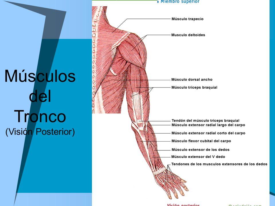 Músculos del Tronco (Visión Posterior)