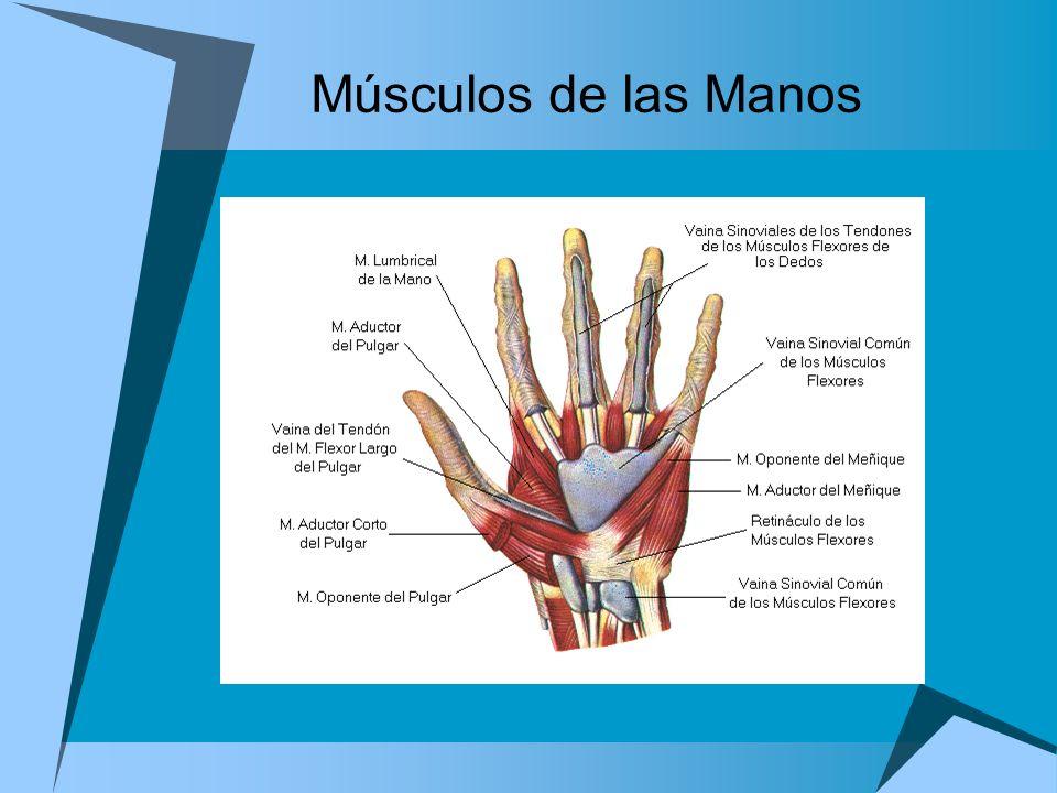 Músculos de las Manos